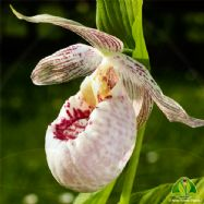 Cypripedium 'Lady Dorine'